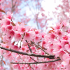 Sakura çiçeğinin yaşlanmaya karşı etkisi